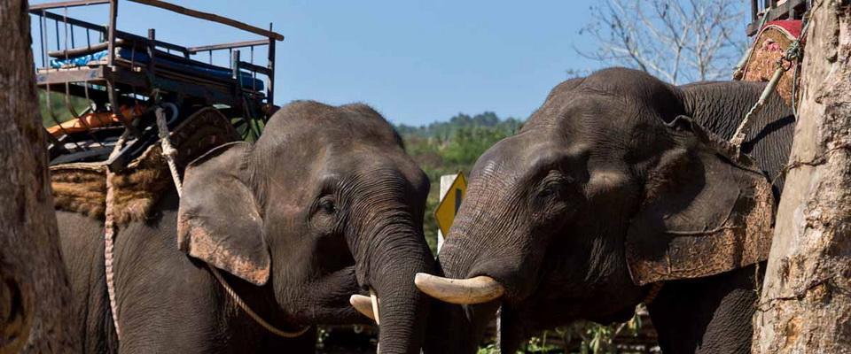 Elephants at Elephant Camp on Mae Nam Kok